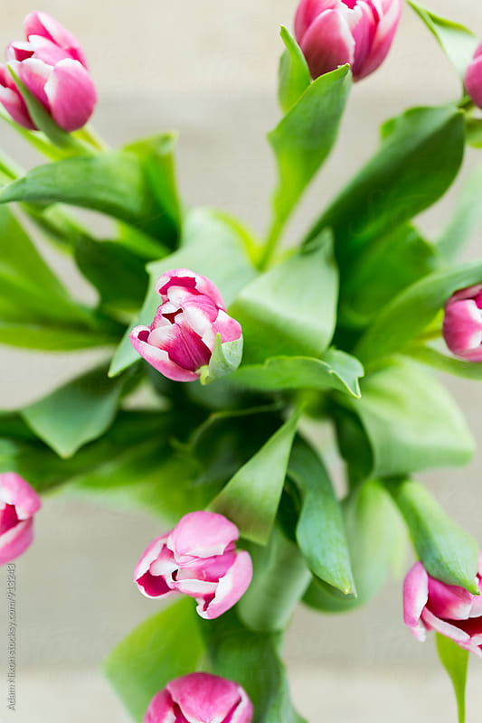 Pink and white Easter Tulips by Adam Nixon for Stocksy United
