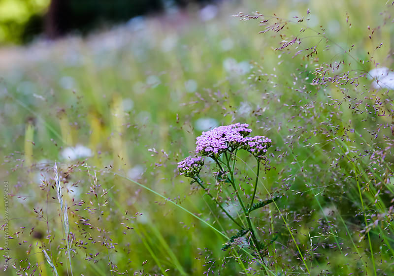 Pretty pink wildflowers in a field in the summer by Monica Murphy for Stocksy United