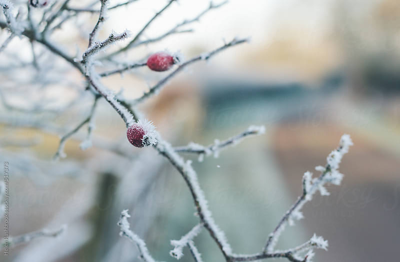 Frosted rose hips growing at the side of a country lane by Helen Rushbrook for Stocksy United
