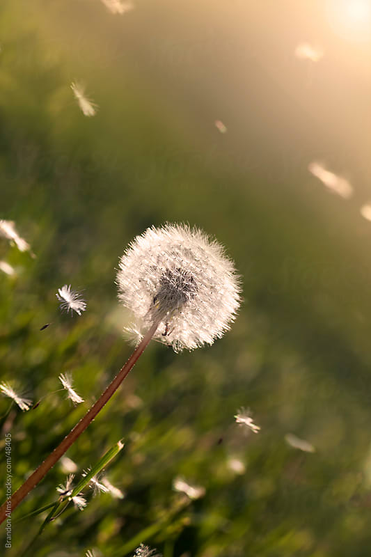 Dandelion at Sunset with Seeds Blowing in the Wind by Brandon Alms for Stocksy United