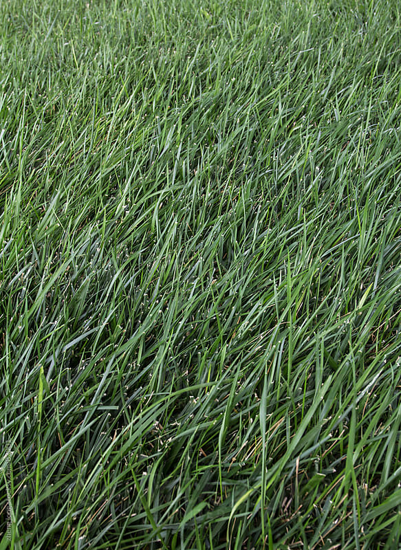 Grass background by zheng long for Stocksy United