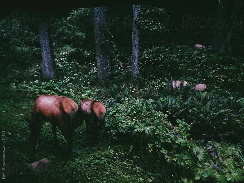Elk Grazing in the Forest by Kevin Gilgan for Stocksy United