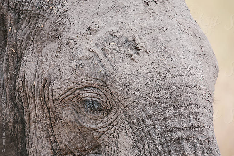 elephant face close up by Cameron Zegers for Stocksy United