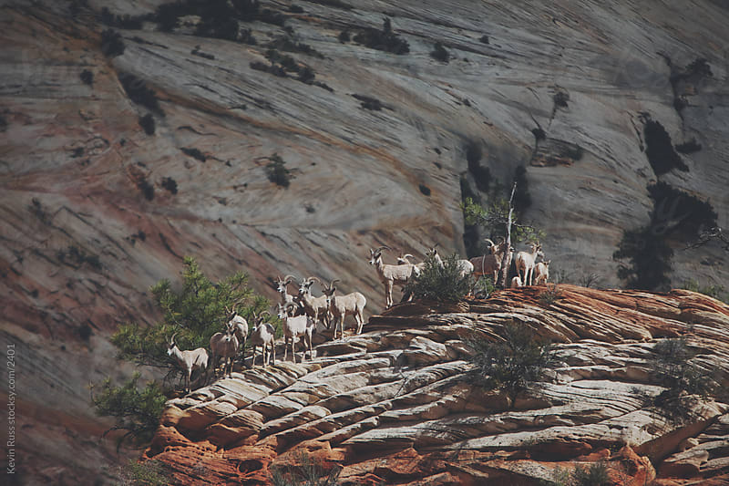 Desert Bighorn Sheep by Kevin Russ for Stocksy United