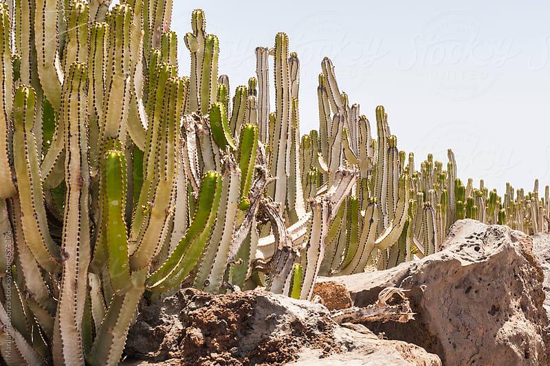 Row cactus to sun by Marilar Irastorza for Stocksy United