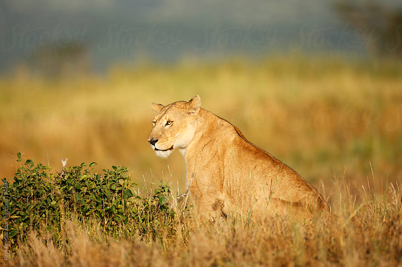 lioness  in Africa's Serengeti National Park by Paul Tessier for Stocksy United