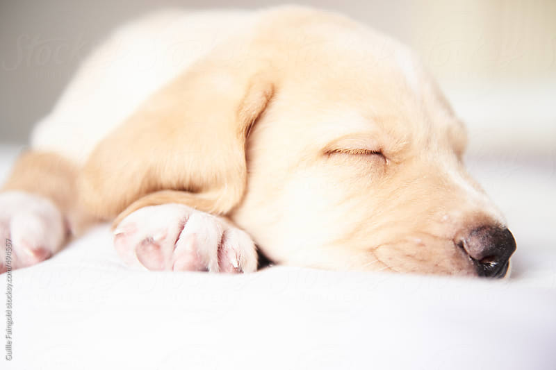 Young labrador retriever puppy by Guille Faingold for Stocksy United