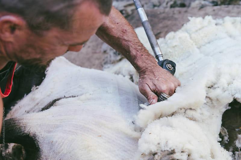 sheep shearer at work by Gillian Vann for Stocksy United