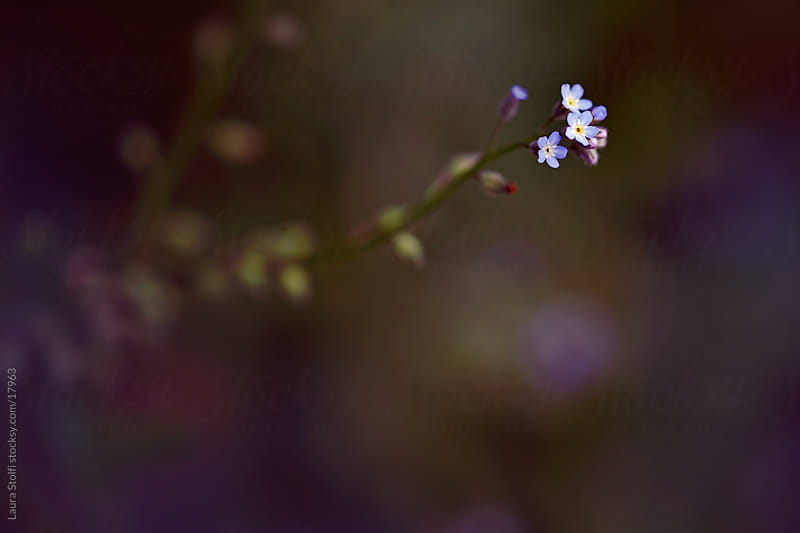 Forget Me Not (Myosotis) flowers  floating in the shadow by Laura Stolfi for Stocksy United