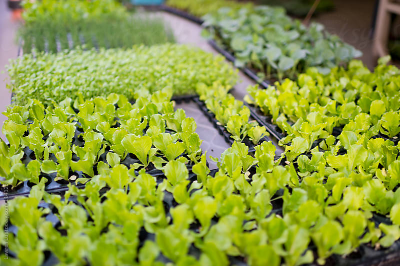 Fresh lettuce and many other vegetables seedling growing in pot by Lawren Lu for Stocksy United