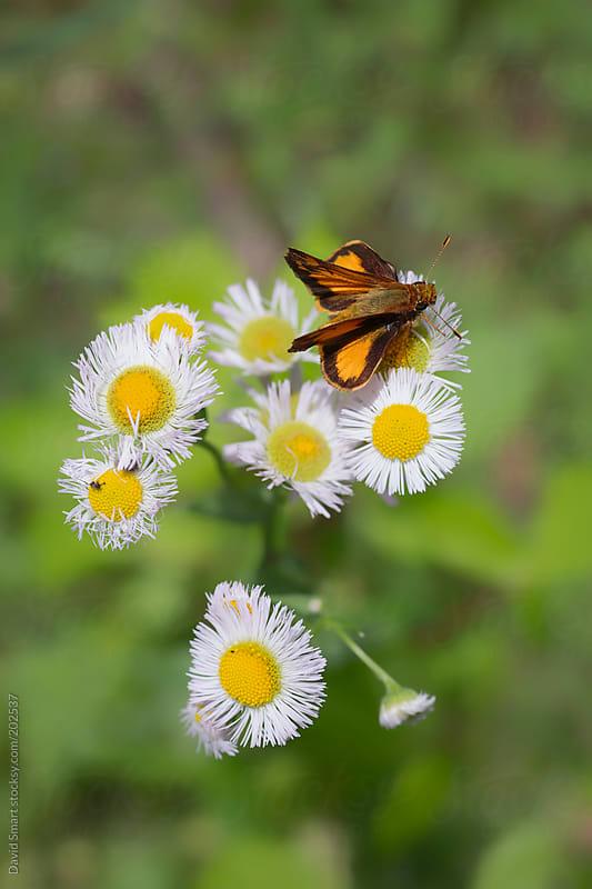 Folded wing skipper butterfly on a daisy fleabane flower by David Smart for Stocksy United