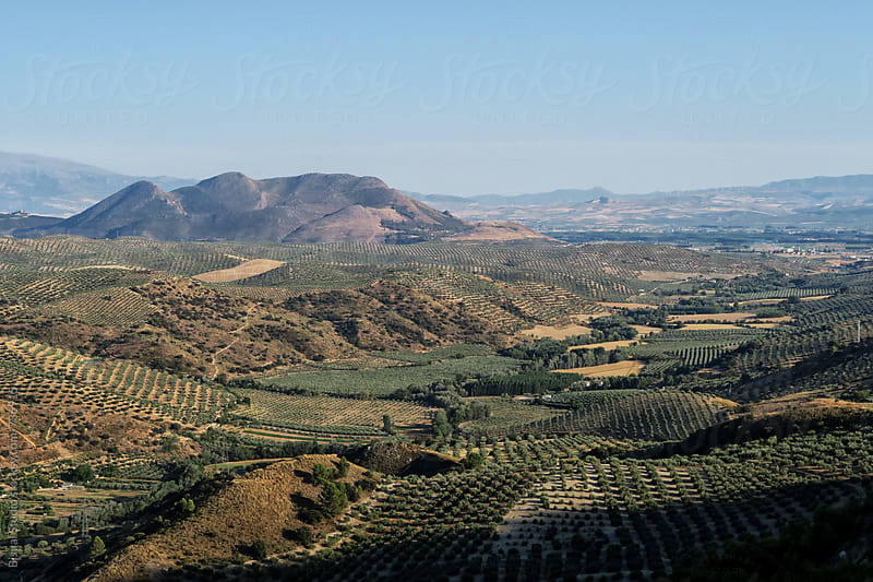 Olive tree fields in Granada by Bisual Studio for Stocksy United
