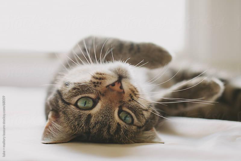 Tabby Cat by luke + mallory leasure for Stocksy United