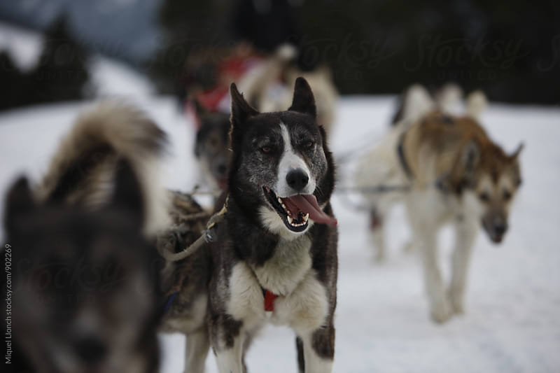 Group of sled dogs on the snow by Miquel Llonch for Stocksy United
