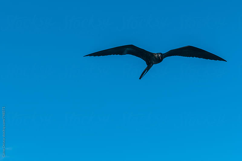 Firgate bird flying towards camera in sky by Caine Delacy for Stocksy United