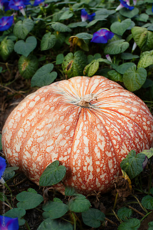 Large cinderella type pumpkin in a flowery patch by Carolyn Lagattuta for Stocksy United