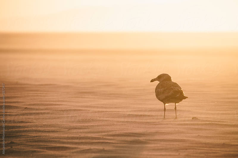 Seagull on the beach sand at sunset by Alejandro Moreno de Carlos for Stocksy United