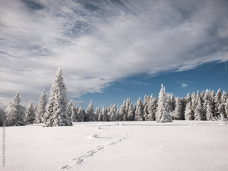 Snow covered Trees behind blue Sky by Andreas Wonisch for Stocksy United