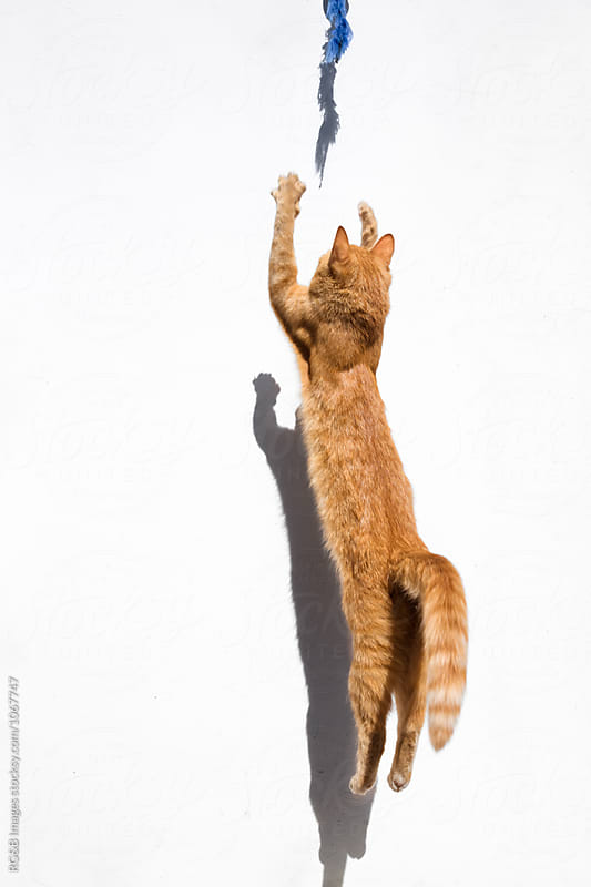 Ginger tabby cat jumping up against a white wall by RG&B Images for Stocksy United