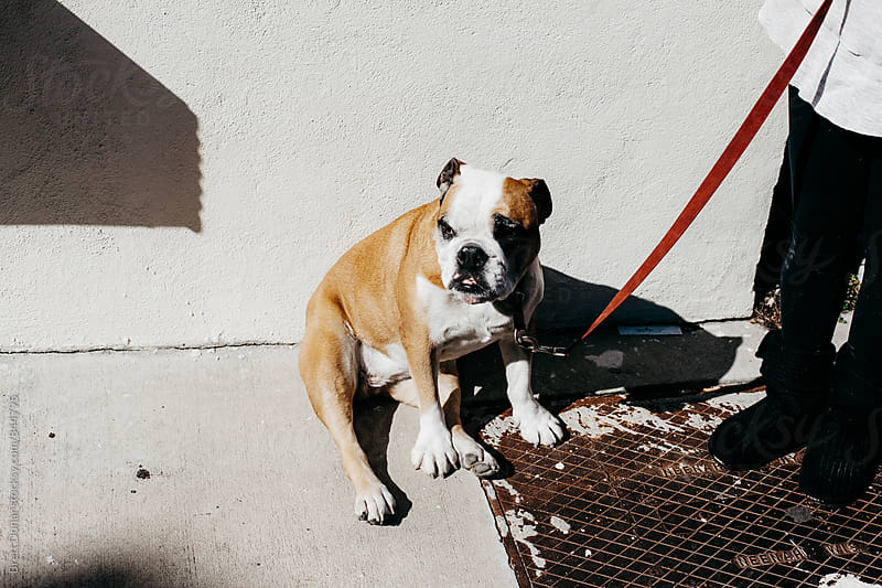 Bulldog by Brett Donar for Stocksy United