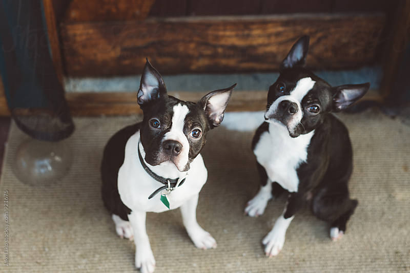 Two Boston Terriers by Jake Elko for Stocksy United
