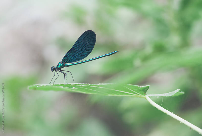 Blue dragonfly standing on the leaf by Aleksandra Jankovic for Stocksy United
