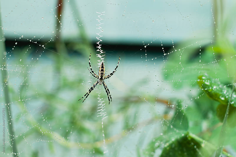 garden spider on web by Jess Lewis for Stocksy United