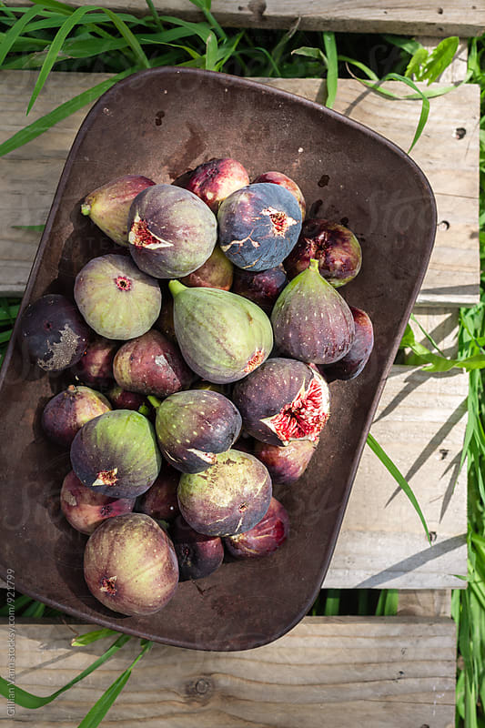 fresh figs straight off the tree in a rustic metal bowl by Gillian Vann for Stocksy United