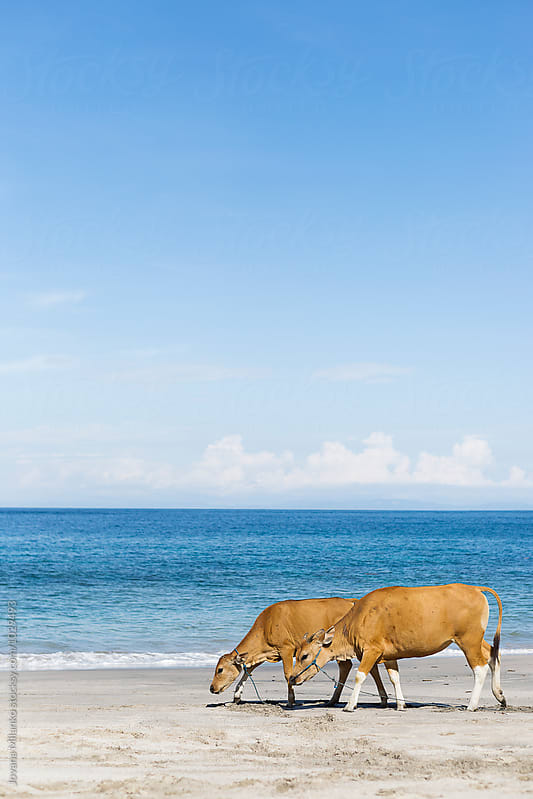 A cow and her calf walking along the white sand beach on Bali by Jovana Milanko for Stocksy United