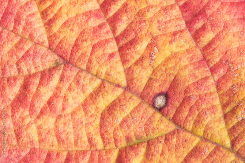 Blackberry leaf in Autumn, closeup by Mark Windom for Stocksy United