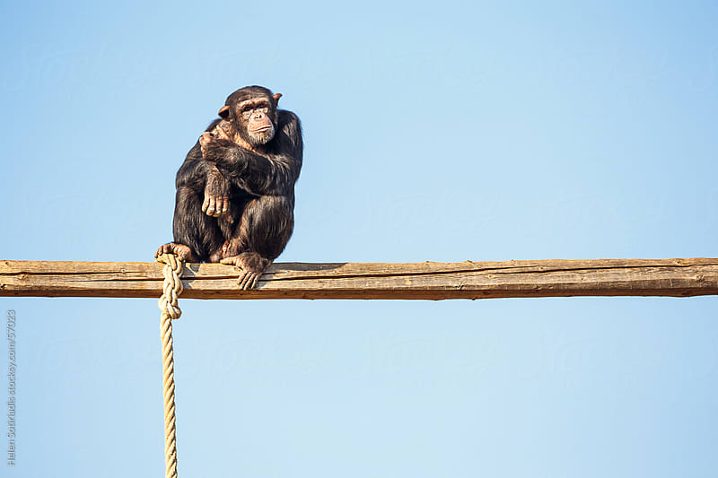 Chimpanzee at the Zoo by Helen Sotiriadis for Stocksy United