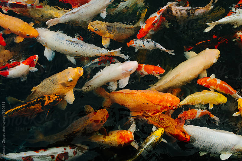 Many koi fish swimming in a pond by Cameron Zegers for Stocksy United