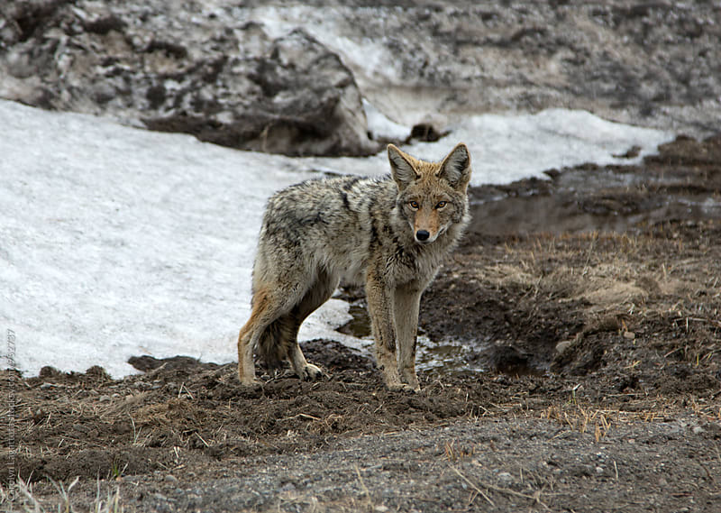 Beautiful coyote in the Sierras by Carolyn Lagattuta for Stocksy United
