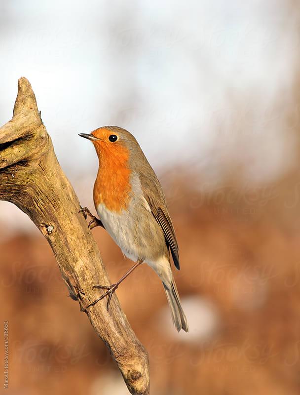 European robin on a dead branch by Marcel for Stocksy United