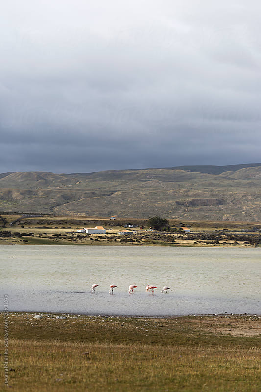 A flock of flamingos in a lake in Tierra Del Fuego by Jovana Milanko for Stocksy United