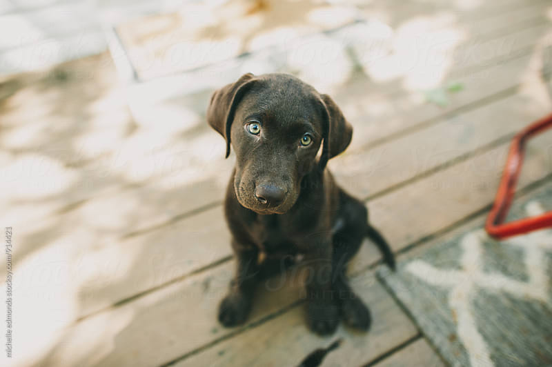 Chocolate Lab Puppy Sitting Down by michelle edmonds for Stocksy United