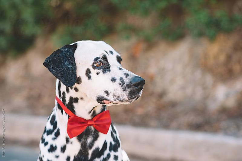 Profile of a dalmatian dog with a red bow  by Luca Pierro for Stocksy United