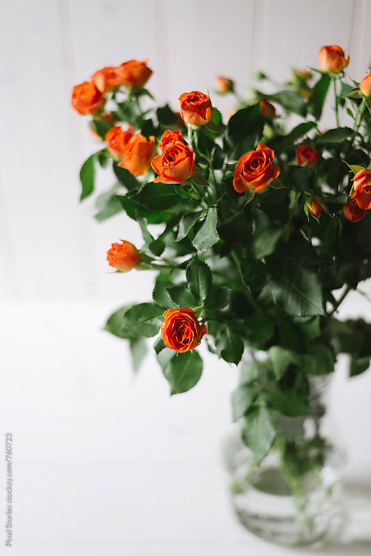 Orange roses on white by Pixel Stories for Stocksy United