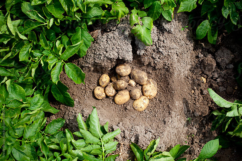 Harvested potatoes lying on the ground surrounded by potato plants by Ivo de Bruijn for Stocksy United