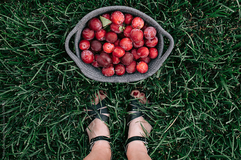 Freshly harvested plums by Amy Covington for Stocksy United