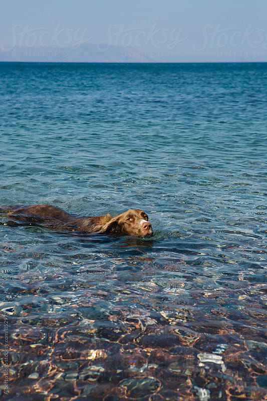 Dog swimming on a beach with clear water by Alberto Bogo for Stocksy United