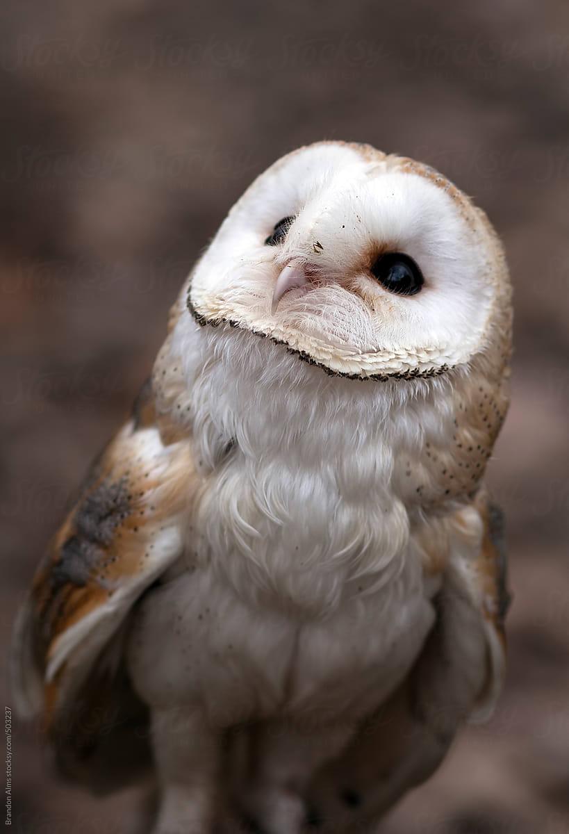 Cute Baby Barn Owl by Brandon Alms - Owl, Wildlife ...