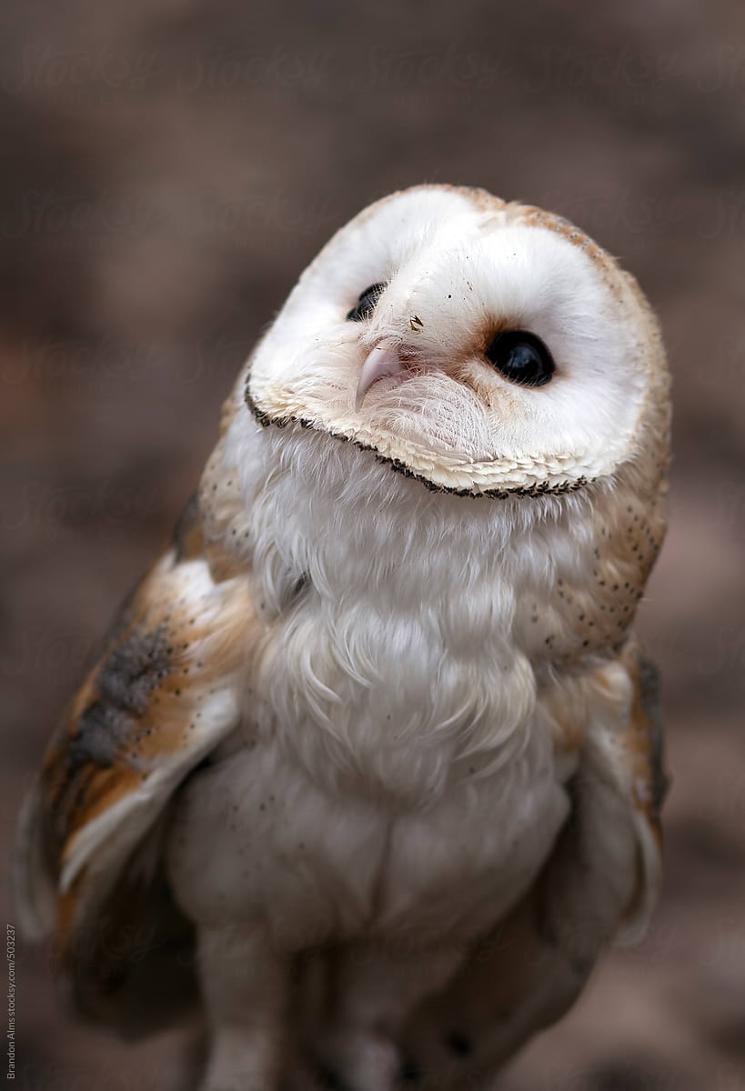 Cute Baby Barn Owl   Stocksy United