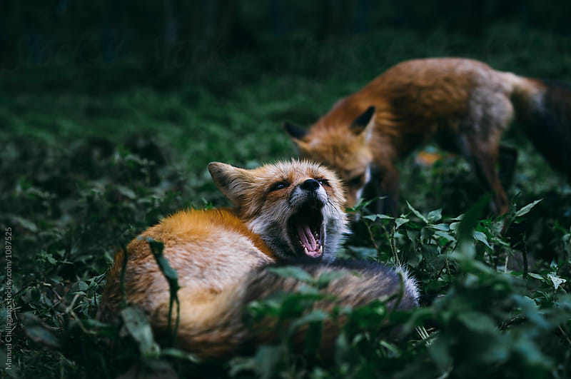 Two red foxes sitting in the grass, one of them yawning by Manuel Chillagano for Stocksy United