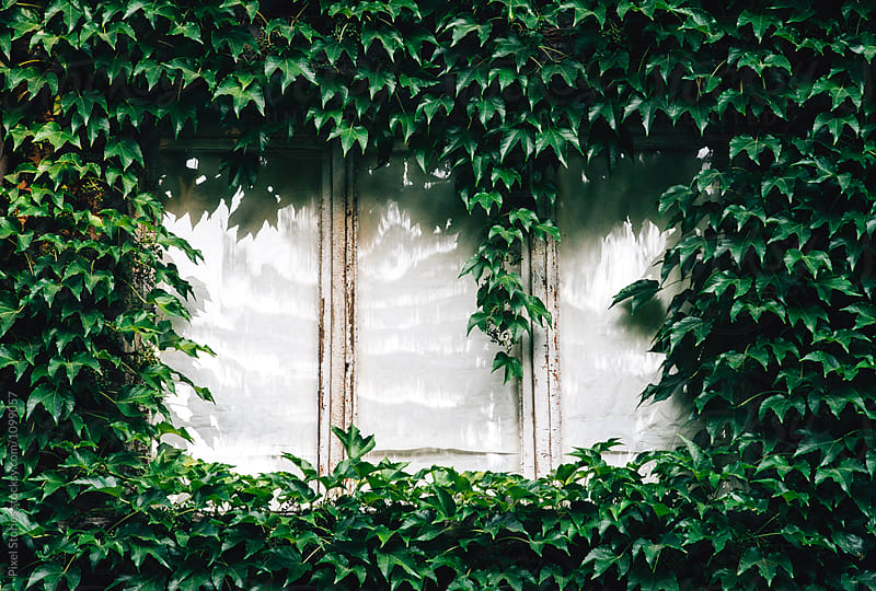Ivy-covered windows by Pixel Stories for Stocksy United