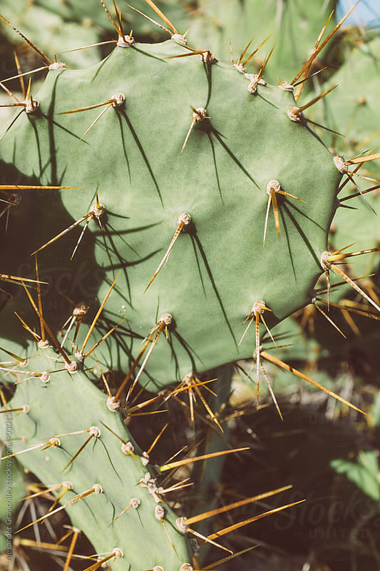 Cactus  Close Up by Alexander Grabchilev for Stocksy United