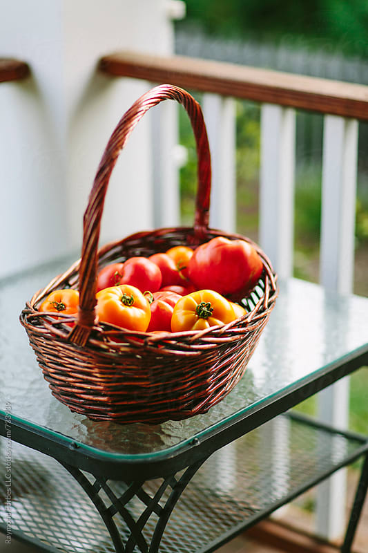 Tomato Harvest in Home Garden by Raymond Forbes LLC for Stocksy United
