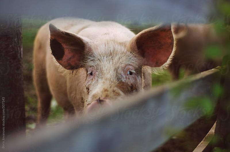 Domestic pig in the farm by Boris Jovanovic for Stocksy United