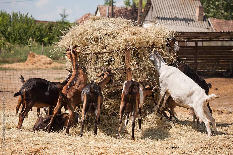 Goat feeding on organic farm. by Gergely Kishonthy for Stocksy United