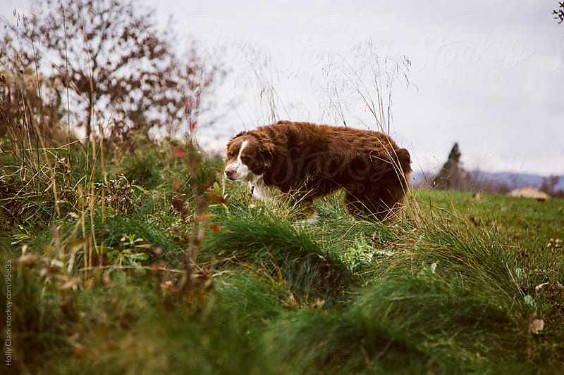 Curious dog sniffs on the edge of a field of grasses. by Holly Clark for Stocksy United